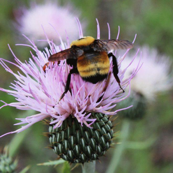 Cutest Bumblebee Butts
