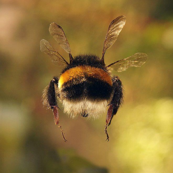 Cute Bumblebee Butts