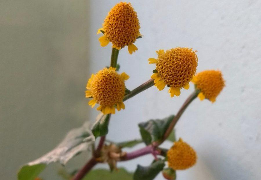 Wildflowers in India: False Sunflower