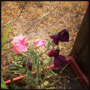 Dark red and pink sweet peas climbing up a chickenwire fence.