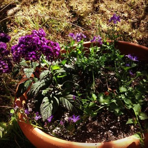 Heliotrope and other purple flowers blooming in a terra cotta pot