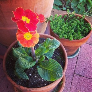 A primrose blooming in a pot, with a succulent visible behind it.
