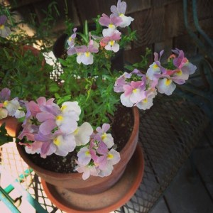 A small potted plant with pink flowers.