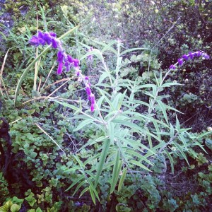 A Mexican sage plant, dancing in the breeze