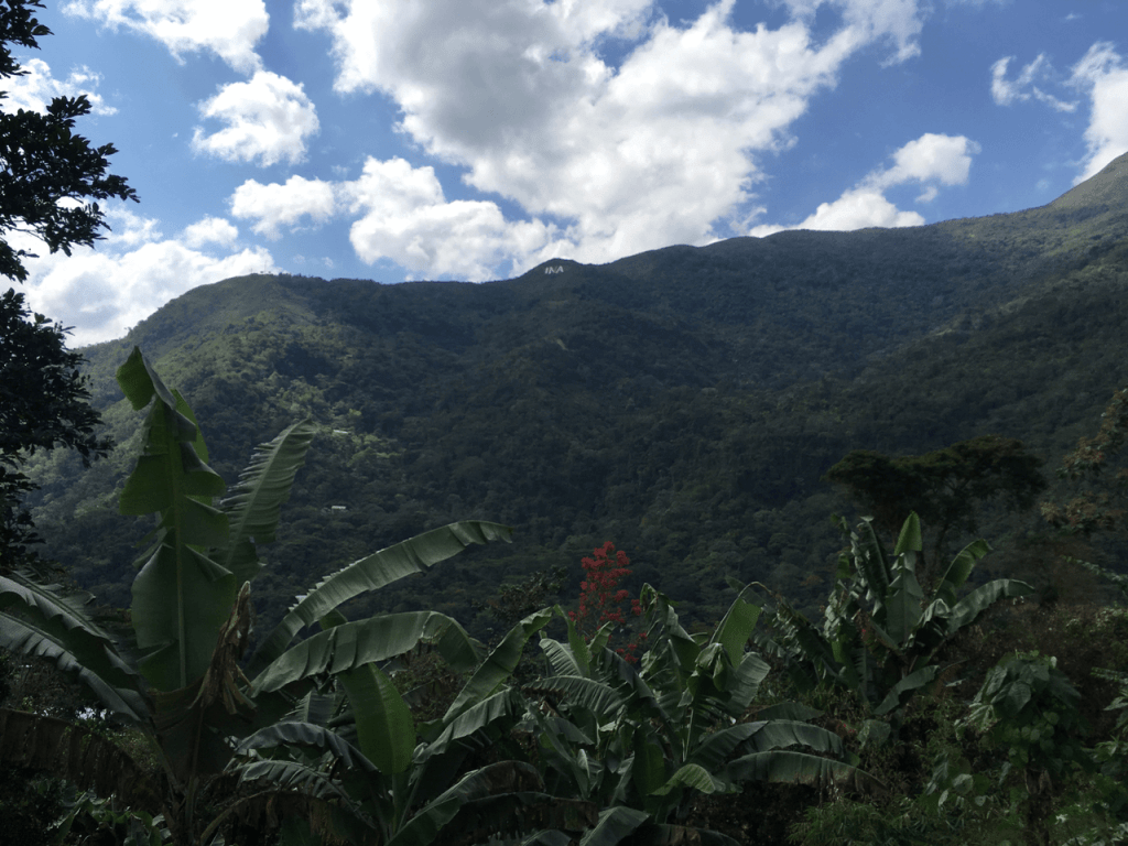 specialty coffee in peru_banana trees