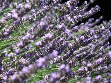 Lavendelmeer_01