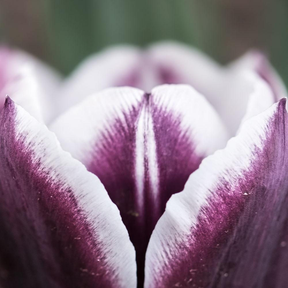 purple-tulip.jpg?fit=1000%2C1000&ssl=1