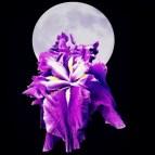Moon and Iris purple