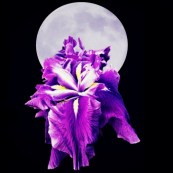 Moon and Iris purple