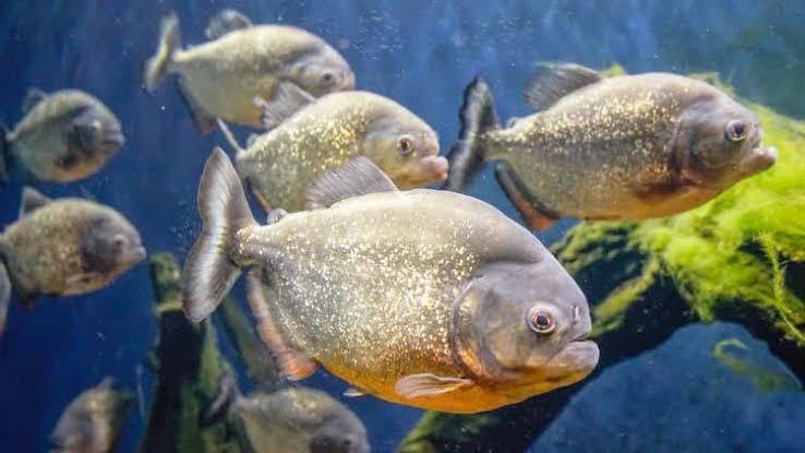 Tips mancing ikan bawal