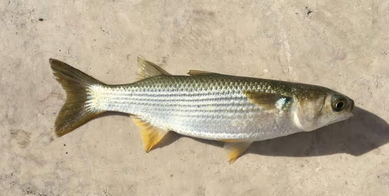 Umpan mancing ikan belanak