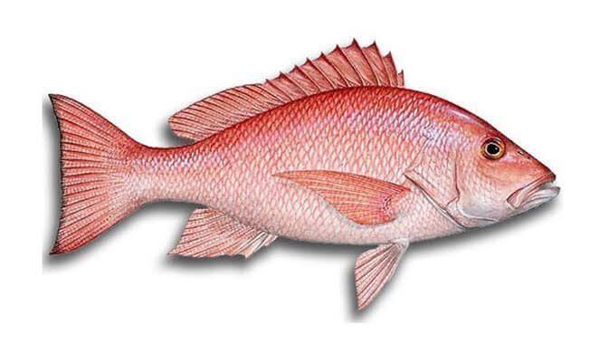 Umpan mancing ikan kakap