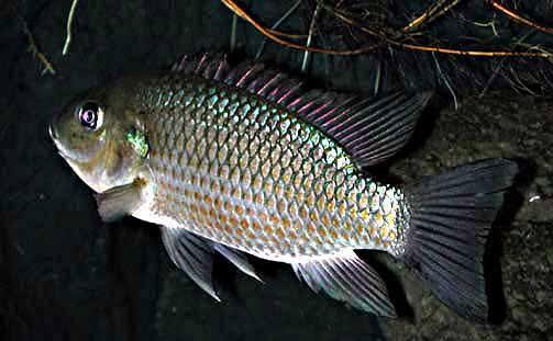 Umpan ikan mujair paling jitu