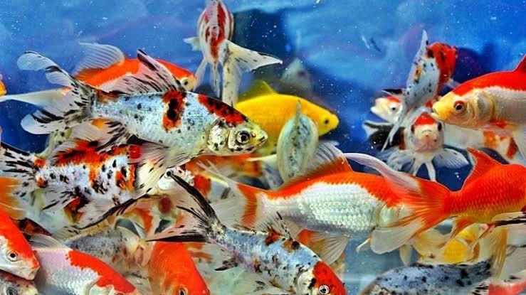 Kondisi air untuk ikan mas