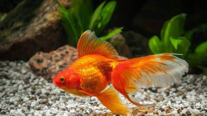 Habitat Ikan Mas