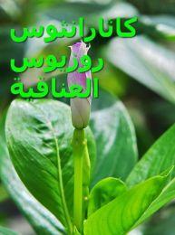 443px-Catharanthus_roseus_, العناقية