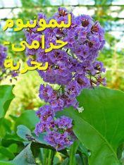 450px-Limonium_arborescens_ليمونيوم2