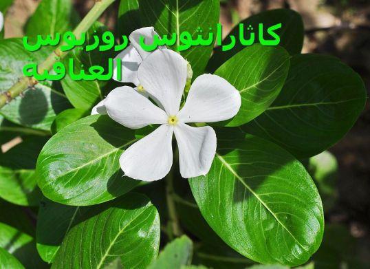 800px-Catharanthus_roseus_ العناقية3
