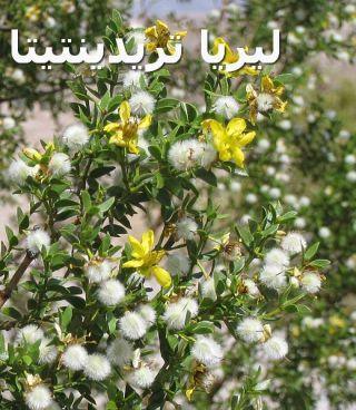 Creosote-bush_Larrea_tridentataليريا تريدينتيتا