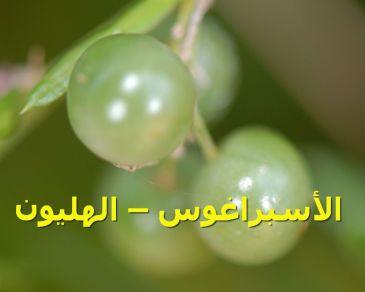 الأسبراغوس – الهليون_-_asparagus_fern_(unripe_fruit)_(3778055484)