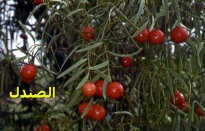 الصندل_Tree