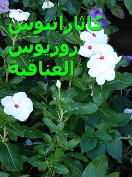العناقية_Catharanthus_roseus