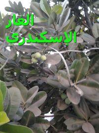 الغار الإسكندري-Calophyllum_inophyllum_(3)