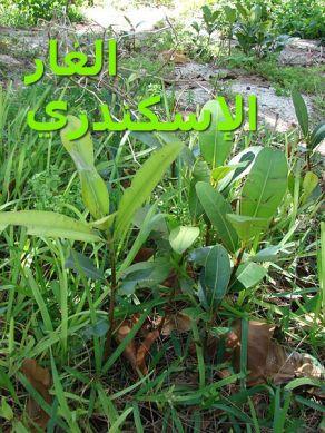 الغار الإسكندري7_Calophyllum_inophyllum