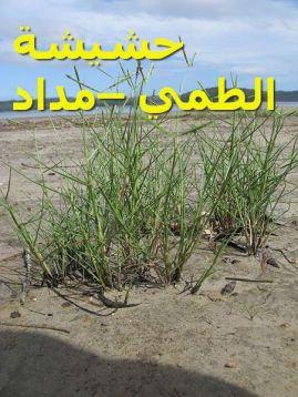 حشيشة الطمي –مداد25)
