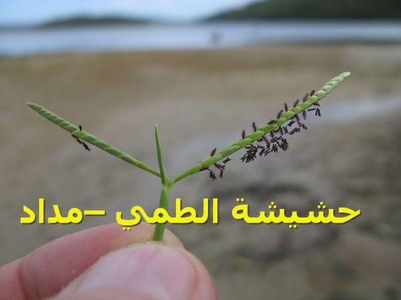 حشيشة الطمي –مداد622)