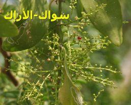 سواك-الأراك_6937