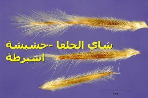 شاي الحلفا -حشيشة اسبرطة_seeds