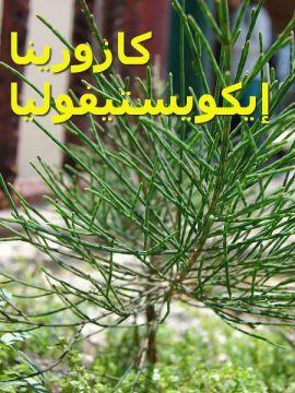 كازورينا إيكويستيفوليا8Casuarina_equisetifolia
