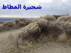 كريزوسامنوث – شجرة المطاط2)
