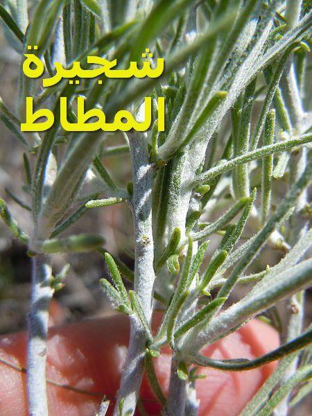 كريزوسامنوث – شجرة المطاط367)