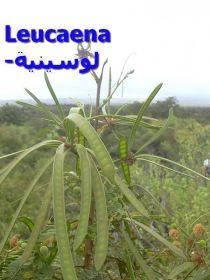 لوكينا_00Leucaena_leucocephala
