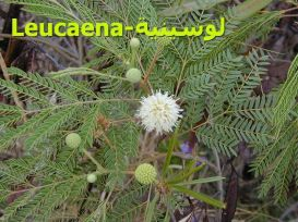 لوكينا_8Leucaena_leucocephala