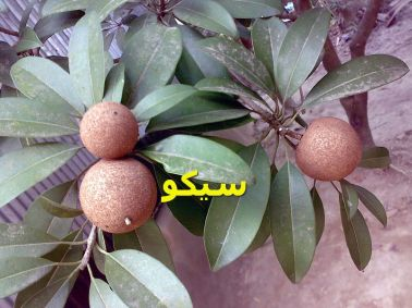 مانيلكرا زابوتا_Manilkara_zapota_with_some_leaf