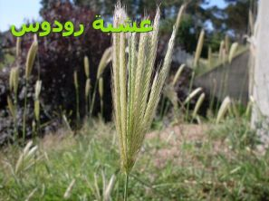 Feathertop_Rhodes_Grassعشبة رودوس)