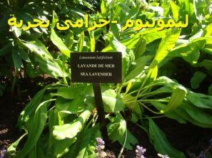 Limonium_latifoliumليمونيوم