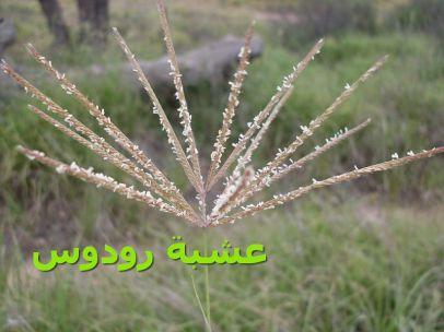 Rhodes_grass_(عشبة رودوس)