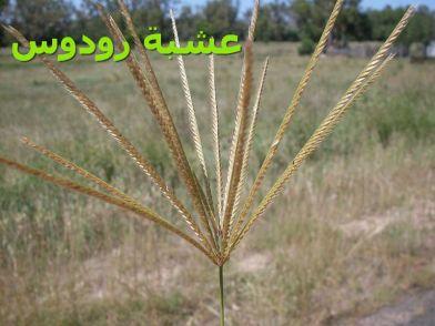 Rhodes_grass_عشبة رودوس)