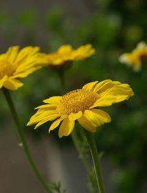 Chrysanthemum_coronarium_