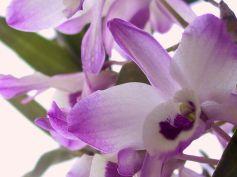 -Dendrobium