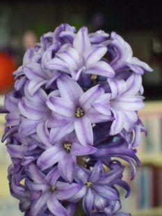 Hyacinth_Jacynthe1