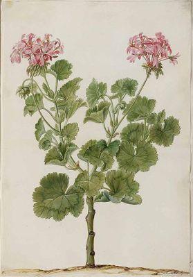 Pelargonium_zonale طأسلية