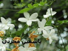 800px-Jasminum_officinale-IMG_4557