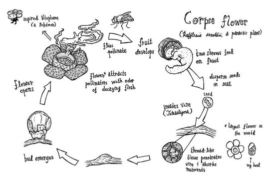 800px-Rafflesia_arnoldii_cycle
