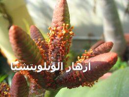 أزهار الويلويتشيا-Welwitschia_flowers
