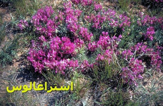 استراغالوس-Astragalus_crassicarpus